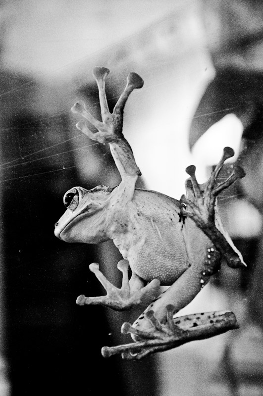 Frog immigrating to America, circa 1950.